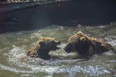 lucha contra dos osos en el agua lago rocas día Foto de archivo