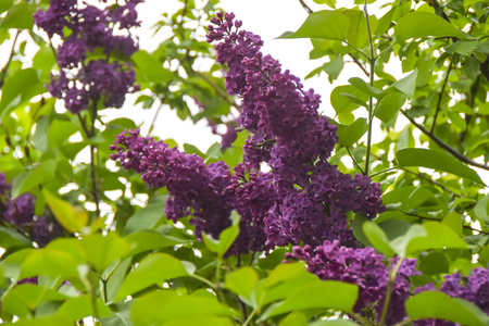 bunches of bright purple lilacs grow on a branch on a green background