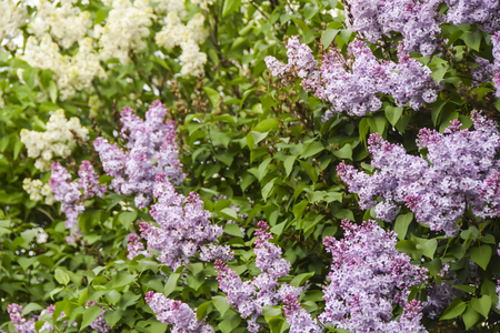 blooming purple and white clusters  flowers wisteria lilac bright  season spring Фото со стока