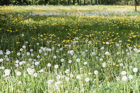 Field of yellow and white fluffy dandelions green meadow grass nature