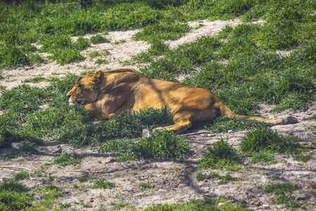 lionesses lie on the green grass in the sun heat