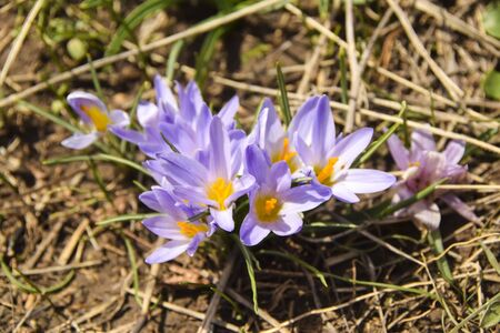 wild wild irises grow in a field on a dry spring grass