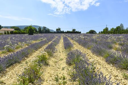 Lavender fields of Provence on a background of mountains landscape Imagens