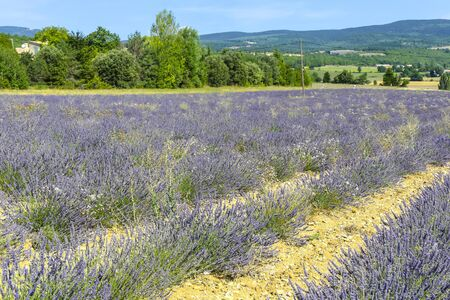 Lavender fields of Provence on a background of mountains landscape