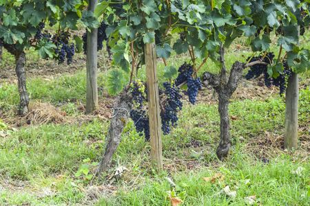 many rows of vineyard with dark large grapes view landscape