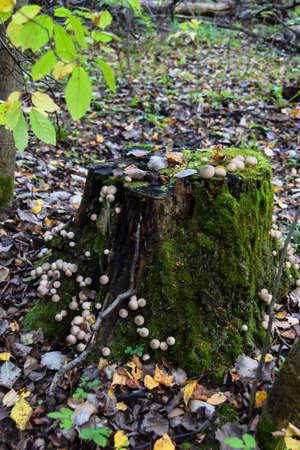 round strange mushrooms grow on moss on a gray tree 版權商用圖片