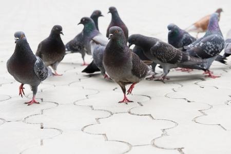 pigeon: Pigeon on the ground