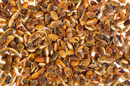japonica: Dried sophora japonica beans. Abstract background.