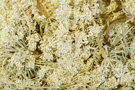 queen anne   s lace: Daucus carota - wild carrot, close-up.
