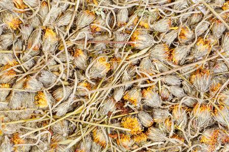 hawkweed: Hawkweed are drying for herbal medicine use.