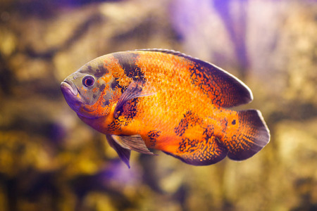 large cichlid: Astronotus ocellatus (Tiger), big fresh-water fish, South American cichlid