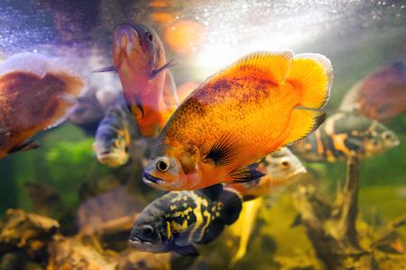 Two Oscar fish (Astronotus ocellatus) closeup shot on biotope