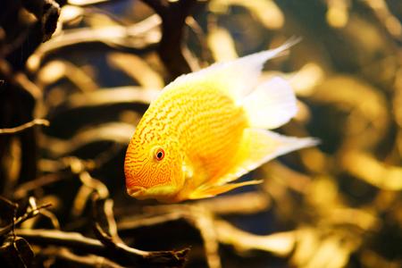 pez pecera: Severum (Cichlasoma severum) peces de acuario