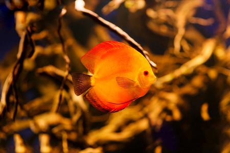 rio amazonas: Disparar pez rojo Discus del r�o Amazonas, Foto de archivo