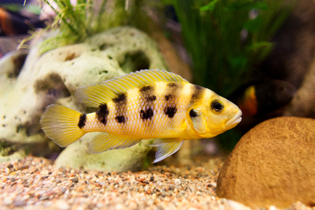 aulonocara: Exclusive cichlid swimming underwater in fresh aquarium