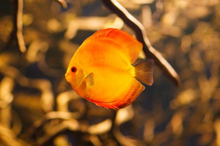 Beautiful red discus swimming in an aquarium