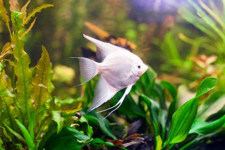 scalar: Scalar Fish Stock Photo