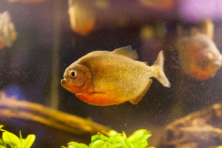pirana: Piranha (Serrasalmus nattereri) swimming underwater; Stock Photo