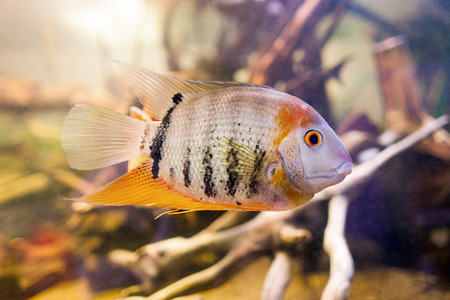 Tropical fish Cichlid ( Cichlasoma citrinellum, Amphilophus citrinellus, Herichthys citrinellus, cichlasoma bassilare, Chichlasoma granadeense), lives in rivers and lakes of Central America Stock Photo