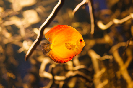 discus: Discus fish (Symphysodon) swimming underwater Stock Photo