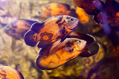 ocellatus: Two Oscar fish (Astronotus ocellatus) swimming underwater