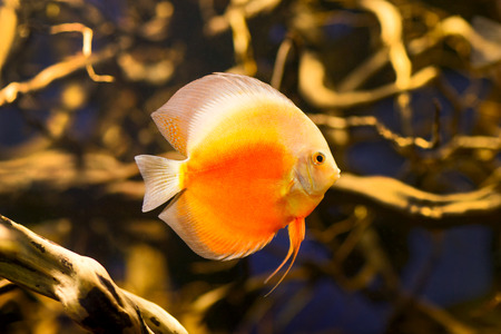 discus fish: Discus fish in the aquarium