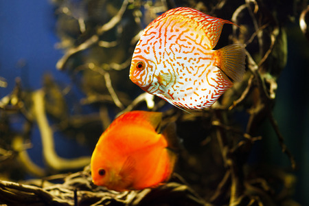 freshwater aquarium plants: Discus (Symphysodon), multi-colored cichlids swimming in the aquarium