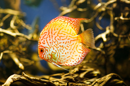 symphysodon discus: Discus (Symphysodon spp.), freshwater fish native to the Amazon River