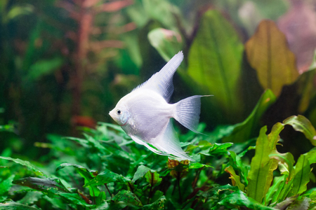 pterophyllum: Freshwater aquarium with a pterophyllum scalare fish