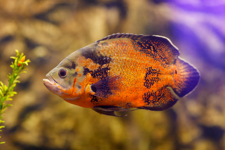 large cichlid: Fish in fresh Aquarium. Oscar fish (Astronotus ocellatus) swimming underwater