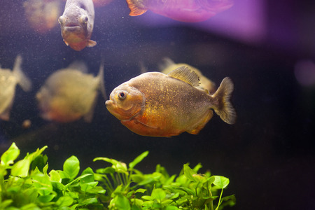 cold blooded: Tropical red piranha (Serrasalmus nattereri) in natural environment