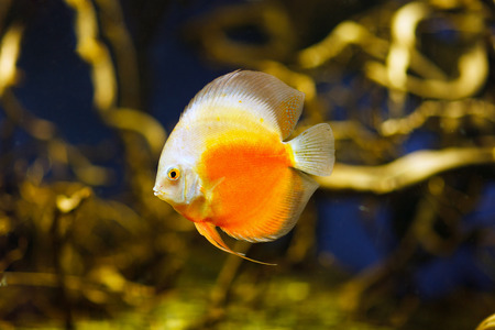 discus: Discus fish biotop on amazon