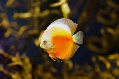 discus fish: Checkerboard discus fish in amazon river Stock Photo