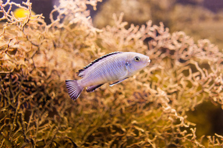 peacock cichlid: Blue African Cichlid from Lake Malawi