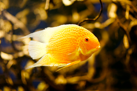 cichlid: (Cichlasoma severum) - Cichlid fish in the aquarium