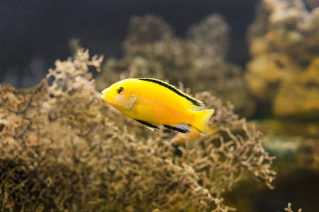 peacock cichlid: African Malawi Cichlid swimming underwater