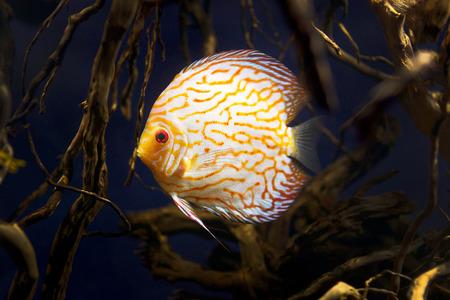 discus: Wild Amazon Discus fish in the wild life Stock Photo