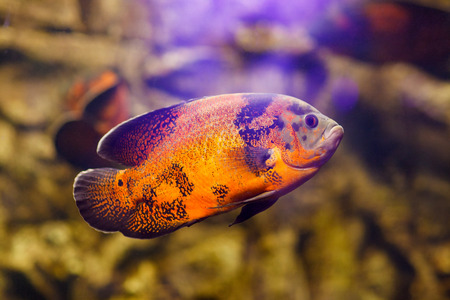 large cichlid: Oscar fish (Astronotus ocellatus) swimming underwater in fresh aquarium Stock Photo