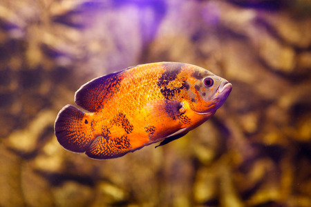 Oscar fish (Astronotus ocellatus) swimming underwater Stock Photo