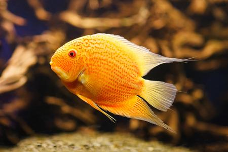 cichlasoma: Exotic fish Cichlasoma severum