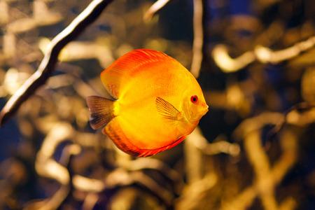 discus: Symphysodon discus aquarium fish