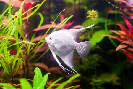freshwater aquarium plants: White Scalare (Angelfish) swimming underwater in beautiful fresh aquarium near green plant Stock Photo
