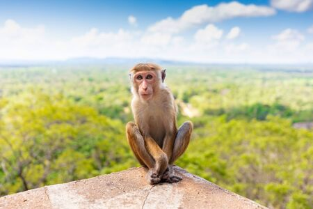 Macaque at Sigiriya Lion Rock Fortress in Sri Lanka ancient palace located in Asia. Stock fotó