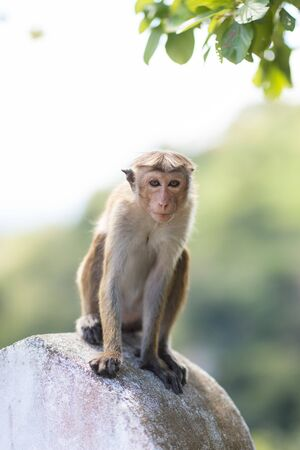 Baby monkey, macaques at Galta temple in Jaipur India. The temple is an ancient hindu piligrimage site. Stock fotó