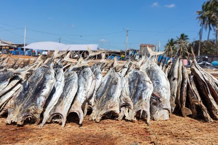 Drying fish under the sun at Negombo fish market, Sri Lanka. Dried little tuna. Asian food. Food preservation one method in Thailand.