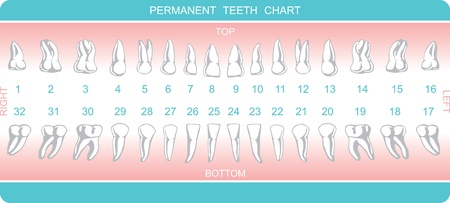 canines: dental chart vector eps