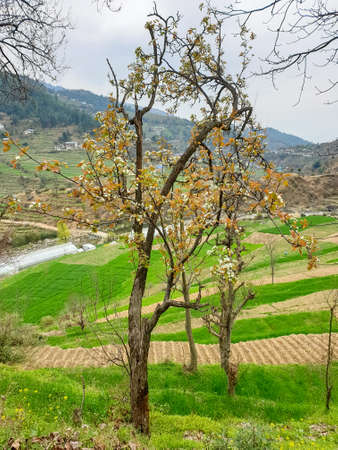 Beautiful view of a pear tree with lovely terrace farm and mountains in spring season in Mandi, Himachal Pradesh, India Imagens