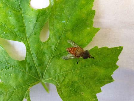 High angle shot of a horse fly (tabanus bovinus) on a green leaf