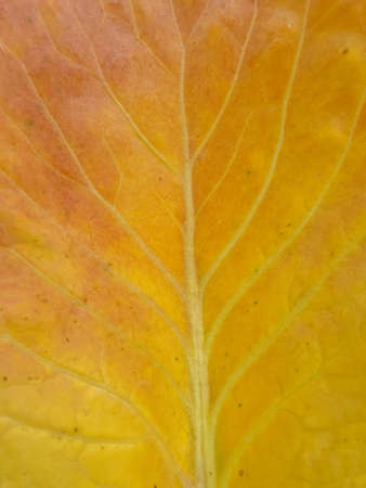 Macro shot of yellowish color cabbage leaf in autumn season. Closeup of colorful cabbage leaf