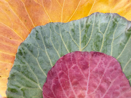 High angle shot of multi colored cabbage leaves in autumn season, Close up shot of three different colored cabbage leaves, Leaf over leaf - Stock Photo Reklamní fotografie